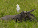 Cattle Egret   Scientific name: Bubulcus ibis   Habitat: Common in pastures, ricefields and marshes.   [CANDABA WETLANDS, PAMPANGA, 40D + 500 f4 IS + Canon 1.4x TC, bean bag]
