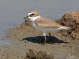 Kentish Plover (Charadrius alexandrinus, migrant)   Habitat - Along coast on beaches, and exposed mud or coral flats.   [CANDABA, PAMPANGA, 40D + 500 f4 L IS + Canon 1.4x TC, bean bag]