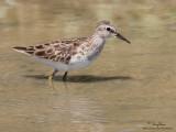 Long-toed Stint   Scientific name - Calidris subminuta   Habitat - Freshwater wetlands.   [CANDABA, PAMPANGA, 40D + 500 f4 L IS + Canon 1.4x TC, bean bag]