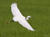 Little Egret   Scientific name: Egretta garzetta   Habitat: Coastal marsh and tidal flats to ricefields.   [CANDABA WETLANDS, PAMPANGA, 1DM2 + 400 5.6L, hand held]