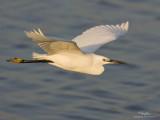 Little Egret   Scientific name: Egretta garzetta   Habitat: Coastal marsh and tidal flats to ricefields.   [BALANGA, BATAAN, 1DMII + 500 f4 IS + Canon 1.4x TC, manual exposure, 475B/3421 support)