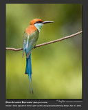 Blue-throated_Bee-eater-IMG_3699.jpg
