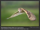 Australasian Grass-Owl   Scientific name - Tyto longimembris   Habitat - Grasslands and canefields.  [CANDABA WETLANDS, PAMPANGA, 1DM2 + 500 f4 IS, 475B/3421 support, near full frame]