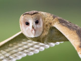 Australasian Grass-Owl   Scientific name - Tyto longimembris   Habitat - Grasslands and canefields.   [CANDABA WETLANDS, PAMPANGA, 1DM2 + 500 f4 IS, 475B/3421 support, processed 100% crop]