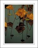 Autumn Lotus Pond