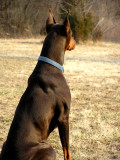 My Dobe in 2004 He was young, strong and fast.  He weight close to 100 pounds