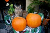 Rocky and his pumpkins