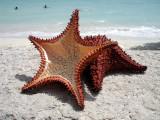 Bluefields Bay Starfish
