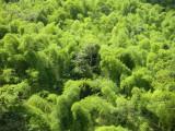 Rio Grande Bamboo