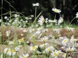 nancy's daisies