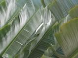 Playa Dorada Palm