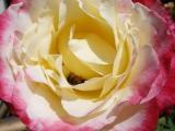 Groveland Rose
