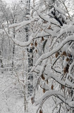 Weeping Beech Crying Under the Snow