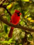 Cardinal Cardinalis cardinalis