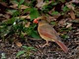 Cardinal Cardinalis cardinalis female