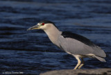 Night Heron (Nycticorax nycticorax)
