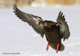 American-black-duck (Anas rubripes)
