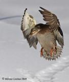 Mallard (Anas-platyrhynchos) female in flight