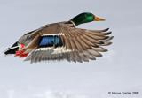 Mallard (Anas-platyrhynchos) male in flight