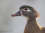 Wood-duck (Aix-sponsa)