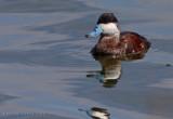 Érismature rousse, Ruddy Duck (Oxyura jamaicensis)