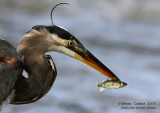 Great Blue Heron (Ardea herodias) and fish