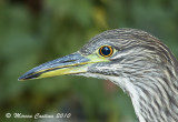 Night Heron  (Nycticorax nycticorax)-juv