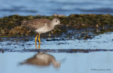 Lesser Yellowlegs, Petit Chevalier (Tringa flavipes)
