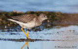 Petit Chevalier, Lesser Yellowlegs (Tringa flavipes)