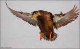 Black-duck-landing