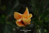Flower_bud_307.jpg