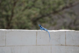 12 - Blue Lizard in Hadda - May 08.jpg