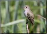 Moucherolle des aulnes (Alder Flycatcher)