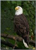 Pygarge à tête blanche (Bald Eagle)