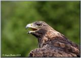 Aigle royal (Golden Eagle)