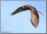 Busard Saint-Martin ( Northern Harrier )