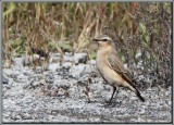Traquet motteux ( Norther Wheatear )