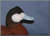 Érismature rousse ( Ruddy Duck )