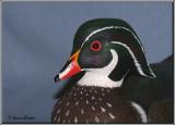 Canard branchu ( Wood Duck )
