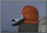 Fuligule à tête rouge ( Redhead )