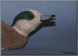 Canard d'Amérique ( American Wigeon )