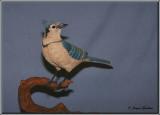 Geai bleu  ( Blue Jay )
