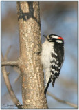 Pic mineur ( Downy Woodpecker )