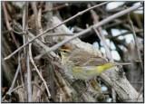 Paruline à couronne rousse ( Palm Warbler )