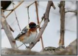 Paruline à poitrine baie ( Bay-breasted Warbler )