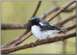 Paruline bleue ( Blackthroated Blue Warbler )
