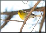 Paruline des pins ( Pine Warbler )
