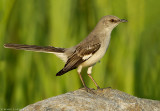Moqueur polyglotte/Northern Mockingbird