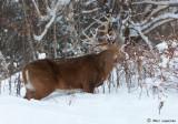 Cerf de Virginie/White-tailed deer