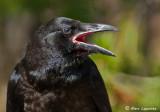 Corbeaux/Ravens